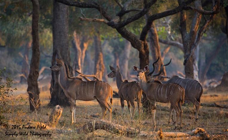 Kudu Antelopes_2015_08_23_9136