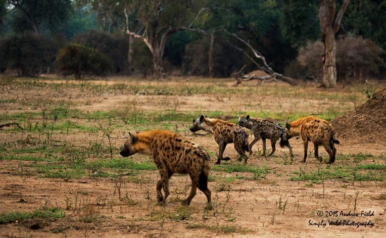 Hyena Cackle_2015_08_21_9194-3
