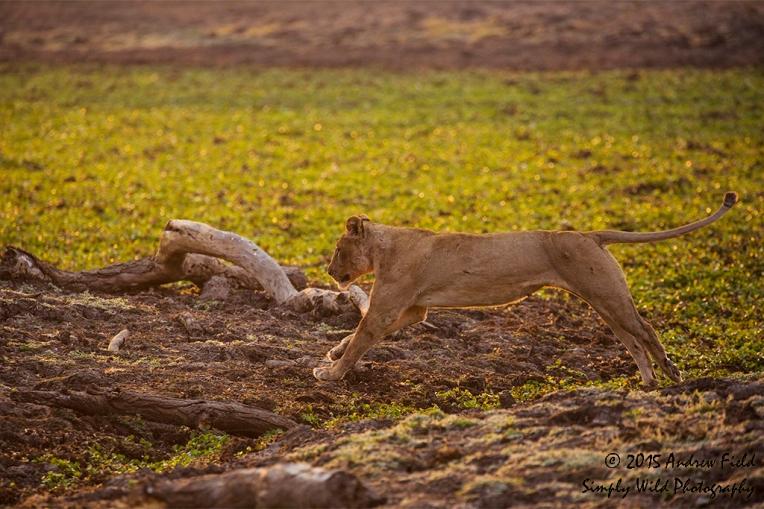 Lioness Leap_2015_08_23_9110
