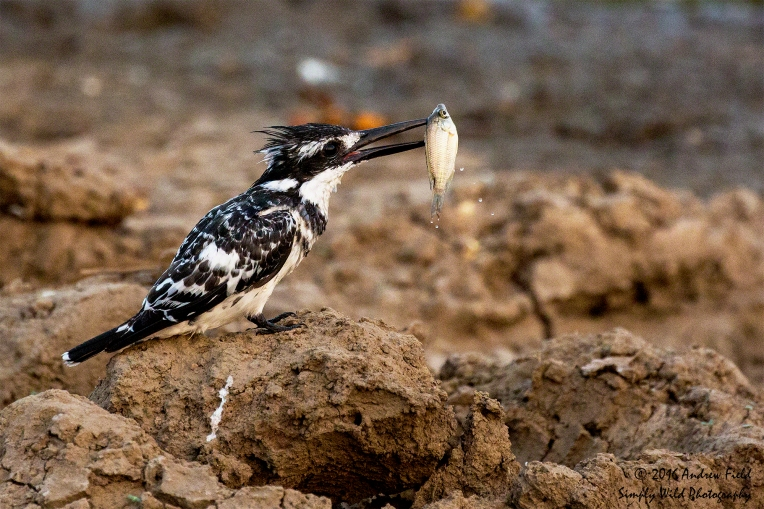 pied-kingfisher_2016_10_15_3033