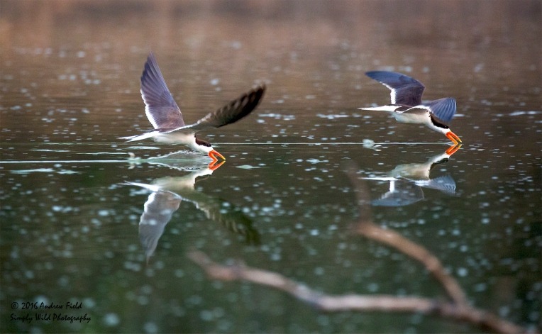 african-skimmers_2016_10_09_1723