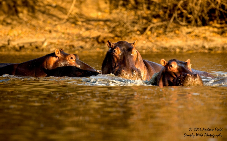 hippos-in-a-pod_2016_10_15_3198