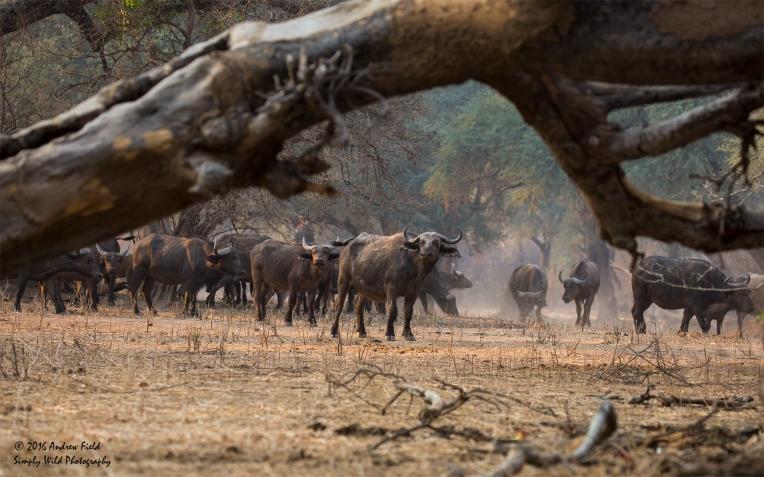 buffalo-herd_2016_10_09_1820