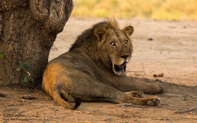lion_2016_10_09_2057