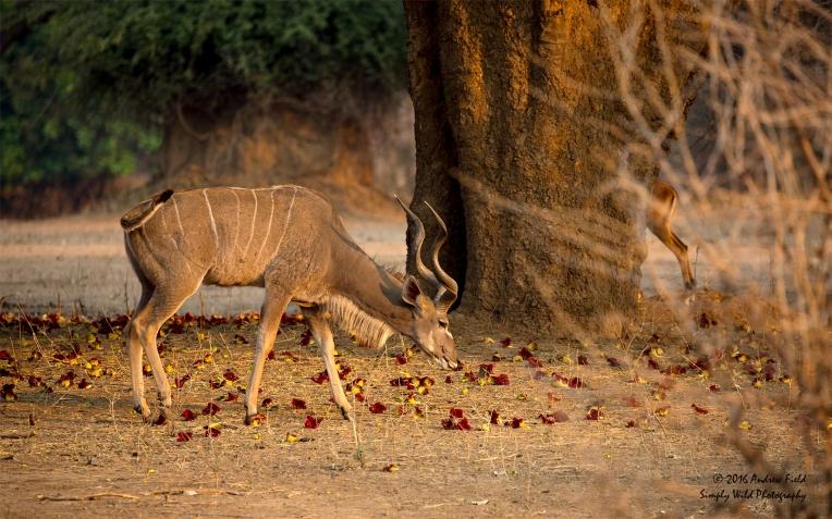 kudu-grazing_2016_10_09_1791