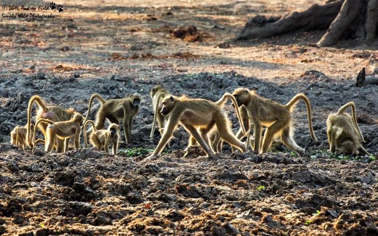 Baboon Troop_2016_10_14_2835