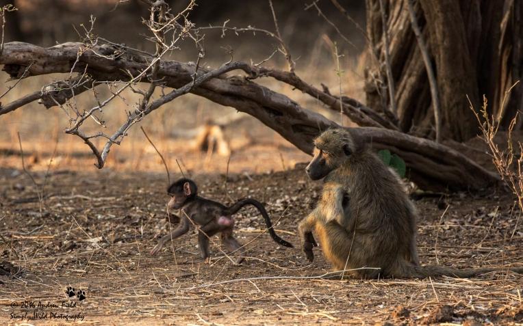 Baby Baboon_2016_10_15_3071