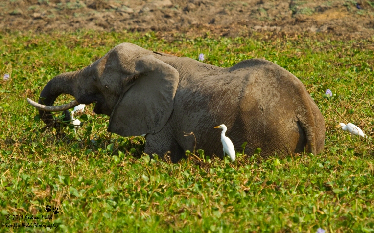 Elephant in Hyacinth_2011_10_21_2806
