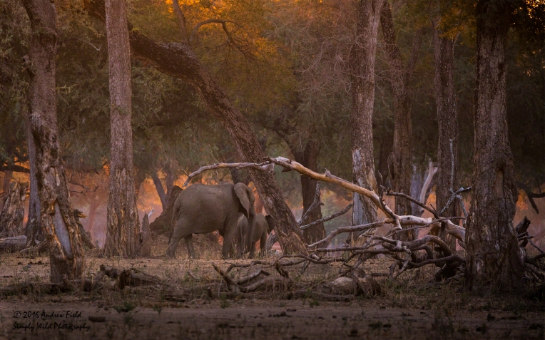 Elephants at Sunset_2016_10_15_3329