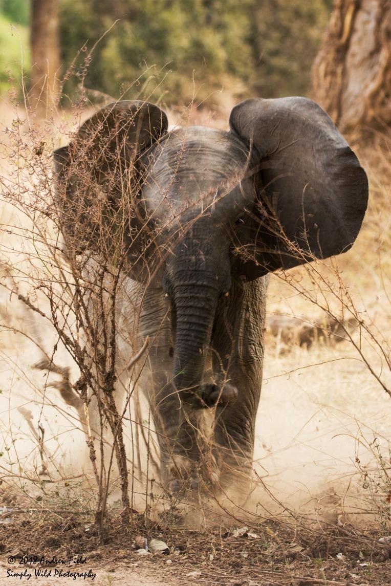 Baby Elephant Charge_2018_07_24_0825