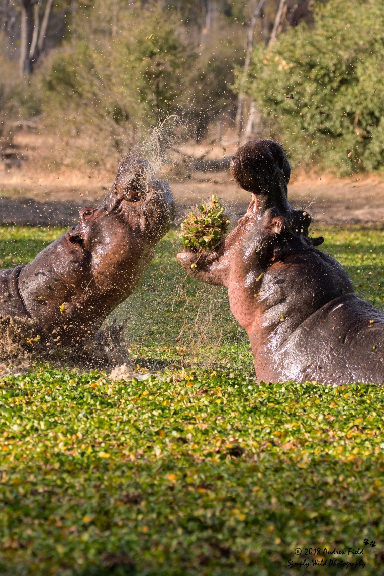 Dueling_Hippos 2018_07_25_1112
