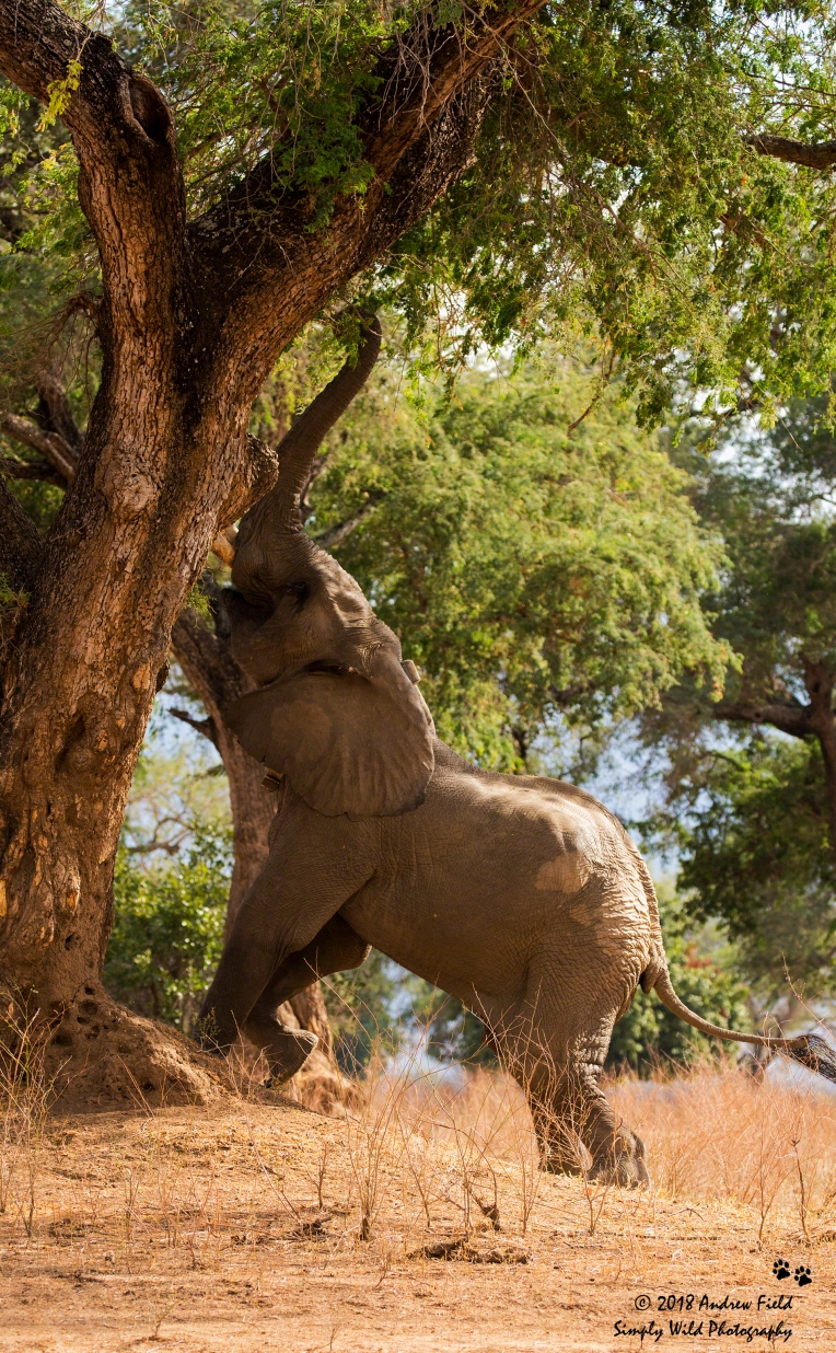 Reaching Elephant_2018_07_25_1054