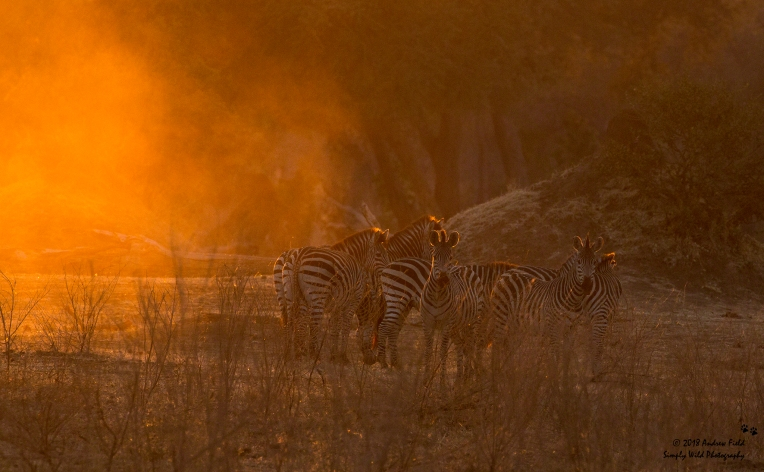 Zebras at Dawn_2018_07_30_1845