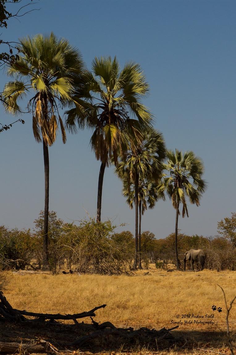 Lone Elephant and Ilala Palms_2018_07_30_2796 copy