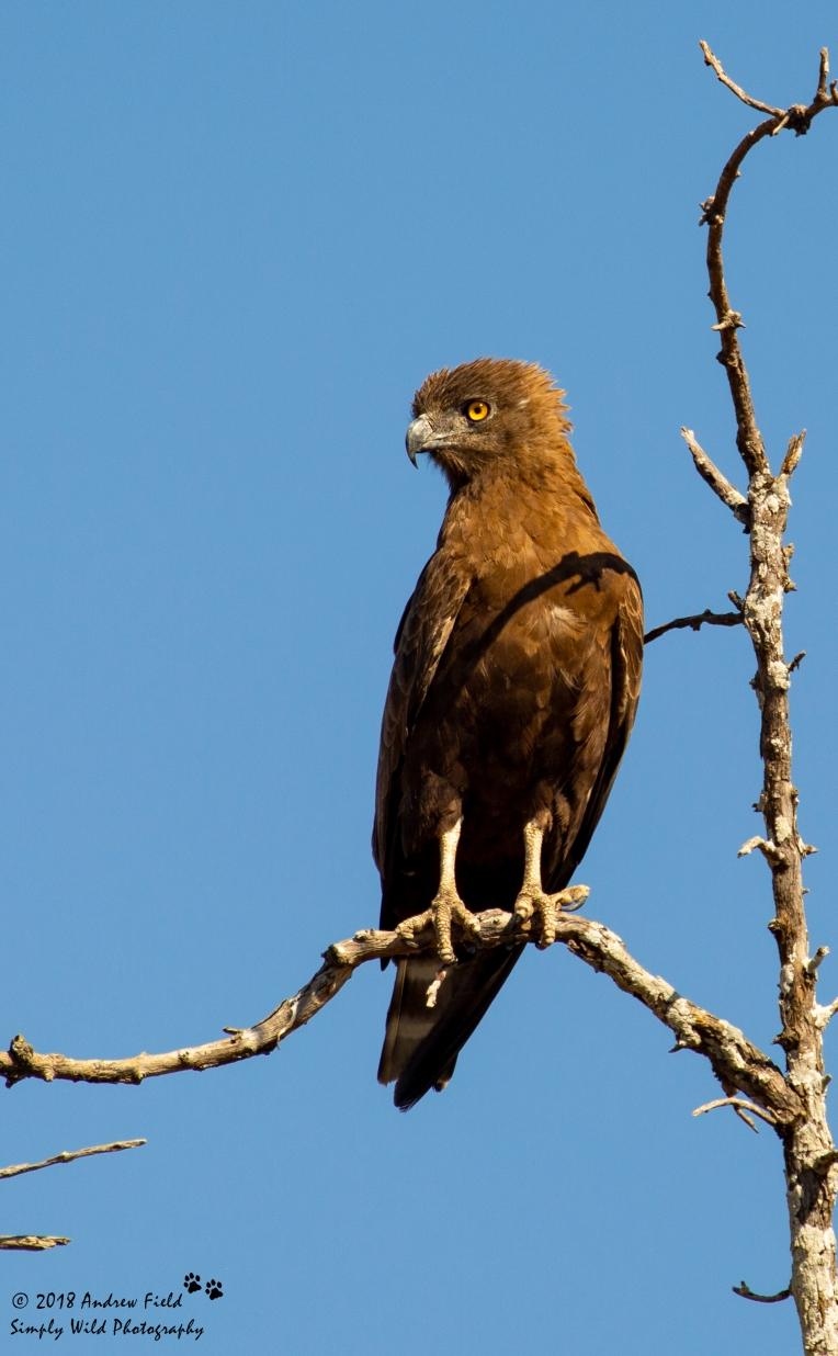 Brown Snake Eagle_2018_07_30_2670