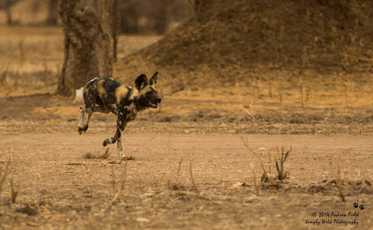 Wild Dog in Pursuit_2014_10_05_4011