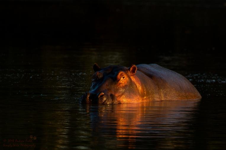 Hippo Blobbong_2018_07_30_1825