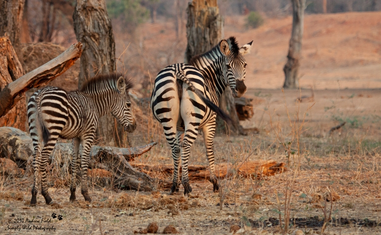 Zebras_Mother and foal_2010_10_14_1402